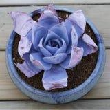 Köttlika växter Royaltyfri Fotografi