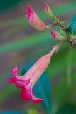 Köttrosa färgBignonia Fotografering för Bildbyråer