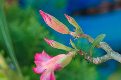 Köttrosa färgBignonia Arkivfoton