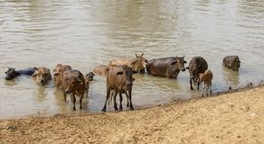 Kühe über dem Fluss in LAK Dac Lak Vietnam lizenzfreie stockfotos