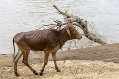 Kühe über dem Fluss in LAK Dac Lak Vietnam stockfotografie