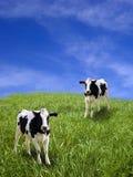 Kühe Lizenzfreie Stockfotografie