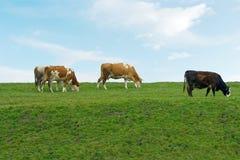 Kühe lizenzfreie stockfotos