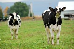 Kühe Stockbilder