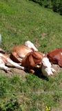 kühe Lizenzfreies Stockfoto