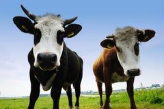 Kühe auf Ackerland Stockbilder
