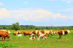 Kühe auf Ackerland Stockfotografie