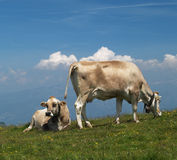 Kühe auf Alpe Stockfotos