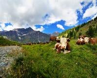 Kühe auf Alpenwiese in Valle-dAosta Stockbilder