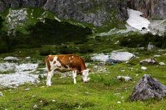 Kühe auf alpiner Weide Stockfoto