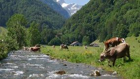 Kühe auf alpiner Weide, die Schweiz stock footage