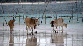 Kühe auf Bara Beach Bira Sulawesi Lizenzfreie Stockbilder