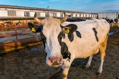 Kühe auf Bauernhof stockfotografie
