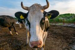 Kühe auf Bauernhof stockfoto