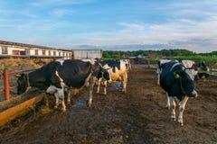 Kühe auf Bauernhof lizenzfreie stockfotografie