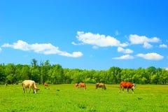 Kühe auf Bauernhof Stockbilder