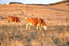 Kühe auf dem Bauernhof Stockfoto