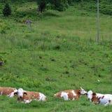 Kühe auf dem Bauernhof Lizenzfreie Stockfotos