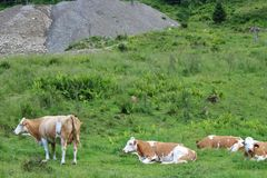 Kühe auf dem Bauernhof Stockfotografie