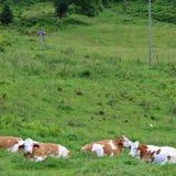 Kühe auf dem Bauernhof Lizenzfreies Stockfoto