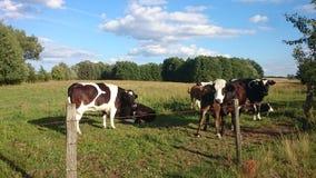 Kühe auf dem Bauernhof Stockbild