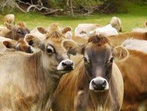 Kühe auf dem Bauernhof Stockfotos