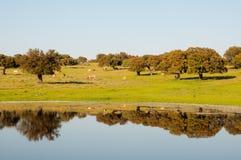 Kühe auf dem Bauernhof Reflexion der Bäume im See Lizenzfreie Stockbilder