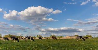 Kühe auf dem Feld Stockbild