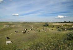 Kühe auf dem Gebiet Lizenzfreies Stockfoto