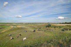 Kühe auf dem Gebiet Stockbilder
