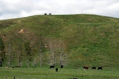 Kühe auf dem Gebiet Stockfotos
