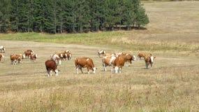 Kühe auf dem Gebiet Stockbild