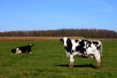 Kühe auf dem Gebiet Stockfotografie
