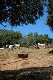 Kühe auf dem Gebiet, Andalusien, Spanien. Stockfotos