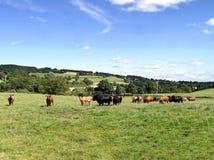 Kühe auf dem Gebiet, das zur Kamera schaut Stockbilder