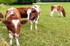 Kühe auf dem Gebiet in der grünen Wiese bewirtschaften Dorf Lizenzfreie Stockbilder