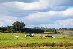 Kühe auf dem Gebiet durch Blithfield-Reservoir Lizenzfreie Stockfotografie