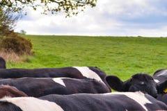 Kühe auf dem Gebiet auf einem Frühlingsmorgenfoto der Rückseiten stockfotografie