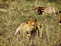 Kühe auf dem Gebiet in Kambodscha stockbild