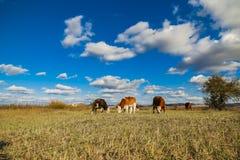 Kühe auf dem gelben Gras unter dem blauen Himmel Stockfotos