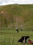 Kühe auf dem grünen Gebiet Stockfoto