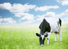 Kühe auf dem grünen Gebiet Stockbild