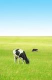 Kühe auf dem grünen Gebiet Lizenzfreies Stockfoto