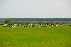 Kühe auf dem Gras lizenzfreie stockfotografie
