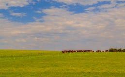 Kühe auf dem Hügel Stockfotografie