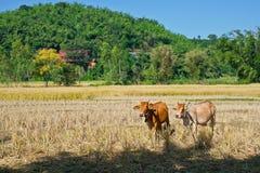 Kühe auf dem Reisgebiet Stockfotos