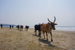 Kühe auf dem Strand Stockbild