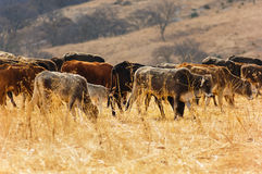 Kühe auf dem trockenen Gebiet Stockfotografie