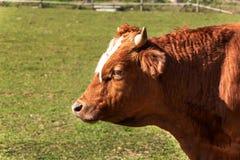Kühe auf dem Weiden lassen Herbst auf dem Bauernhof Viehzucht Landwirtschaftlicher Bauernhof in der Tschechischen Republik Stockbilder