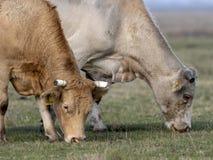 Kühe auf dem Weiden lassen, HortobÃ-¡ GY, Ungarn lizenzfreies stockbild